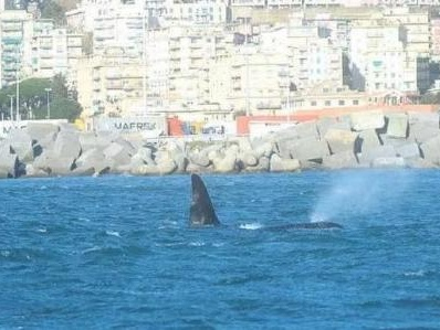 Worry grows over young orca in port of Genoa