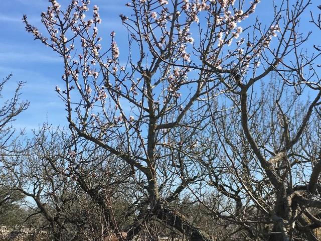 """Puglia, temperatura più alta di due gradi rispetto a un anno fa: """"ha già fatto fiorire mandorli, olivi, albicocchi e peschi"""" Coldiretti: la media è di cinque gradi superiore rispetto al mese scorso. Effetti del clima: undici fra tornado e trombe d'aria da marzo a novembre 2018"""