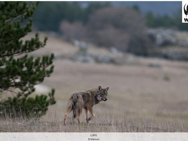 Il Wwf torna all'attacco: «Basta con la disinformazione sulla pelle dei lupi»