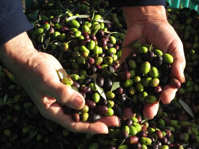 Bene la vendemmia, meglio le olive