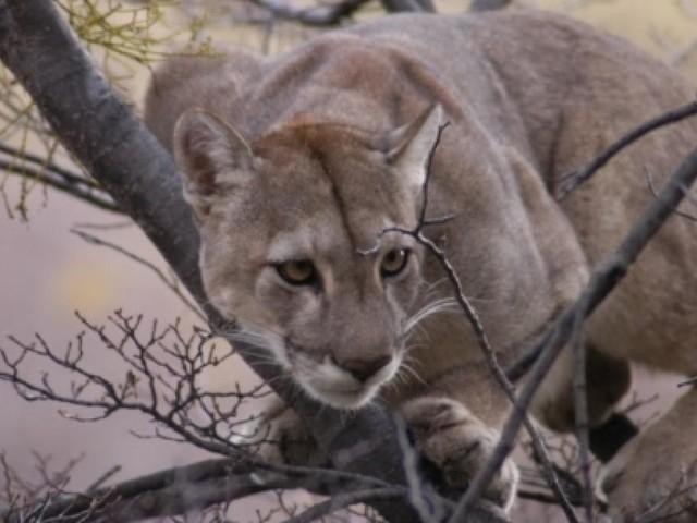Puma, un felino solitario o forse no? Ecco la nuova scoperta