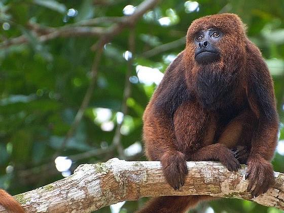 Scimmia urlatrice (Alouatta)