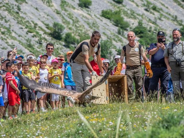 Dopo la riabilitazione il grifone croato Kvarner riprende il volo dall'Abruzzo