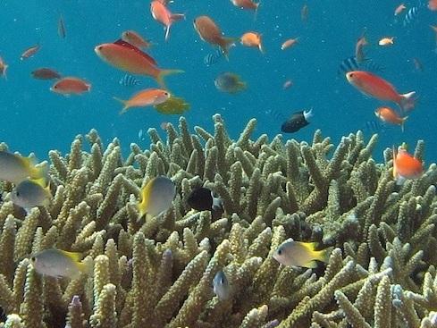 La riproduzione in laboratorio può salvare le barriere coralline. Ma a che prezzo?