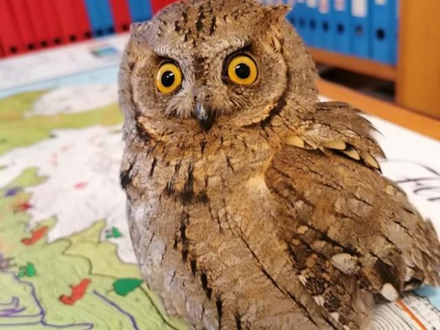 Animali: soccorso Assiolo con ala rotta nelle Eolie