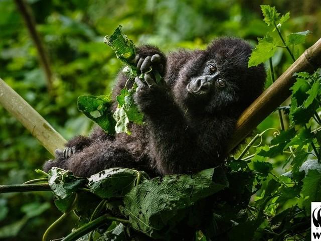 Giornata mondiale del gorilla: la vita in bilico dei gorilla di montagna