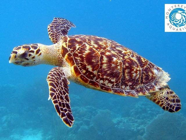 Come sono state sterminate le tartarughe marine embricate: pesca illegale e commercio di carapaci