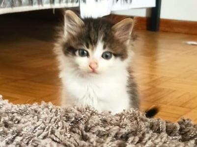 Un gattino di 55 giorni di nome Ugo è in cerca di una famiglia che lo adotti