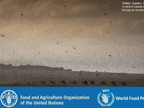 L'invasione delle locuste in Africa e Asia potrebbe trasformarsi in una nuova emergenza migratoria