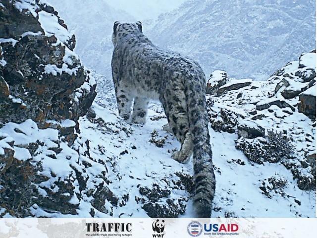 Una App per salvare i 4.000 leopardi delle nevi rimasti