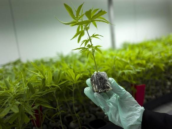Cannabis light liberalizzata se principio attivo sotto 0,5%