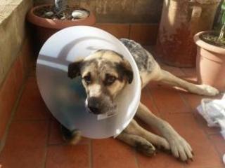 Cane ferito a colpi di armi da fuoco a Francica nel vibonese Salvato e adottato dalla comunità dopo un lungo intervento
