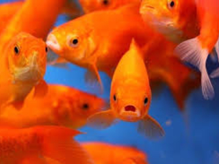 Addio pesci
