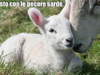 Io non sto con i pastori. Io sto con le pecore sarde.