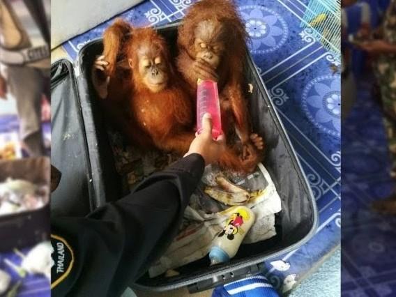 Un uomo è stato fermato al confine tailandese con orangutane, tartarughe e procioni