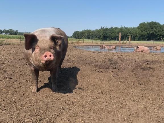 """Blije varkens genieten van modderpoel: """"Ze doen net als wij, beetje zonnebaden en afkoelen in het water"""""""