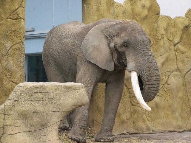 Overleden olifant Kito moet een icoon worden van het nieuwe Naturalis