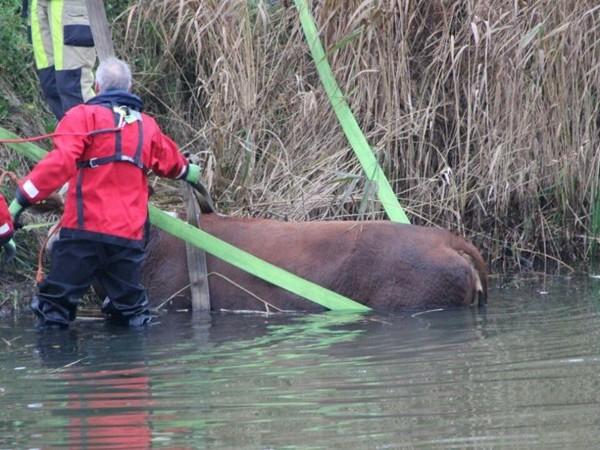Koe uit het kanaal gered in Raalte