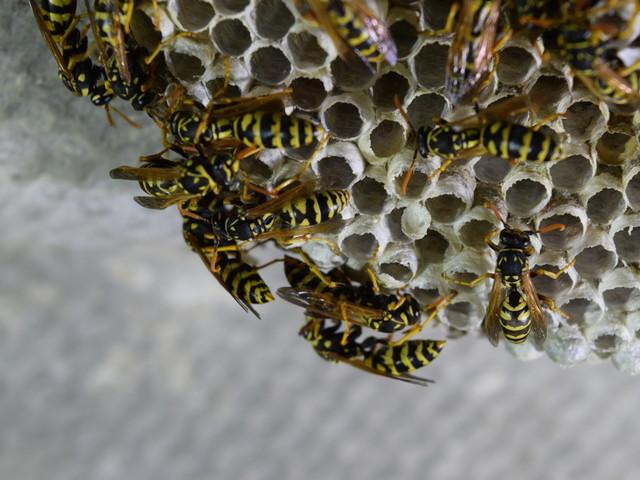 Verschillende wespensoorten in Nederland