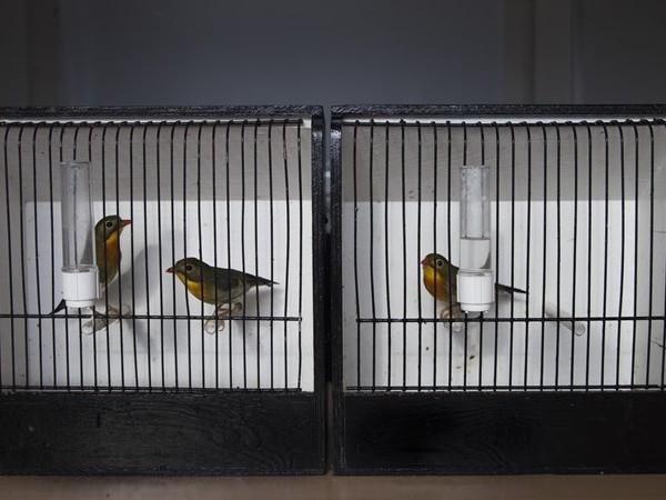 Illegale vogelhandel volgens Zwolse vogelbeurs moeilijk uit te bannen