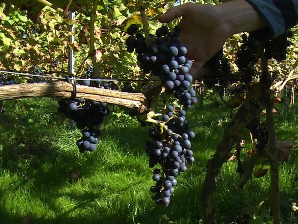 Aantal wijnboeren in Overijssel blijft licht dalen