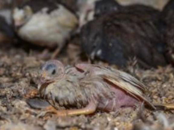 Duizenden vogels in smerige, kleine hokken tussen dode dieren: 'Al jaren niet goed schoongemaakt'