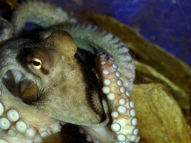 Octopus na ruim 65 jaar weer in Oosterschelde