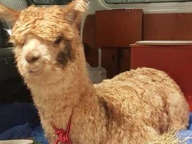 Gedumpte alpaca is weer gelukkig