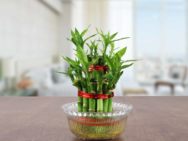 Caring for Lucky Bamboo- Step by Step tutorial