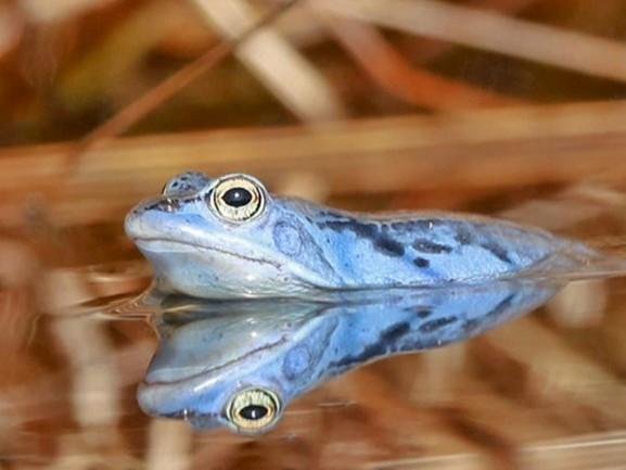Natuurliefhebbers spotten blauwe kikkers in veengebieden