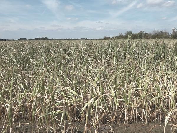 Boeren die getroffen zijn door de droogte mogen later belasting betalen