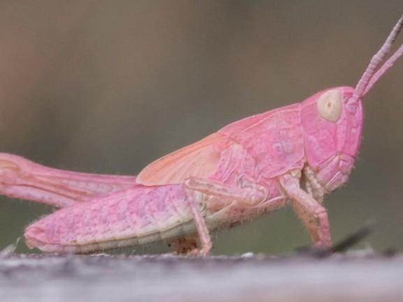 Roze sprinkhaan gespot in de Maashorst: 'Een zeldzaamheid'