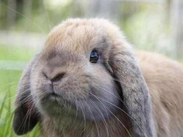 Voetbalclub stopt definitief met de veiling van konijnen