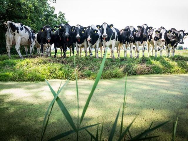 Koe in de wei kan zonder vergunning, adviseert Remkes