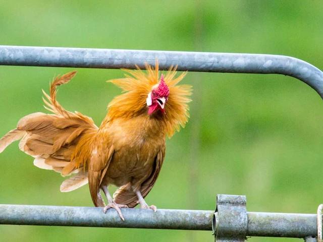 Wenn der Hahn kräht …