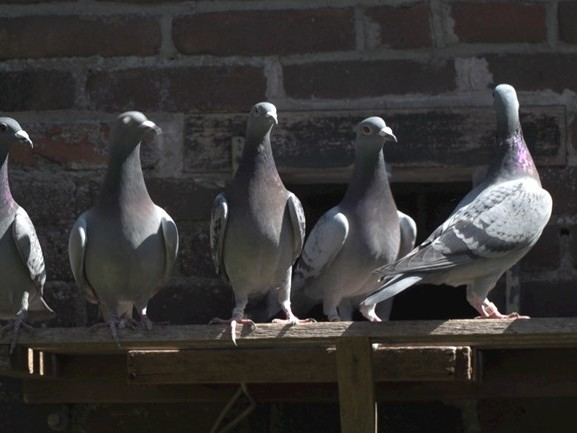 Goed nieuws voor de duivensport: ze mogen weer vliegen!