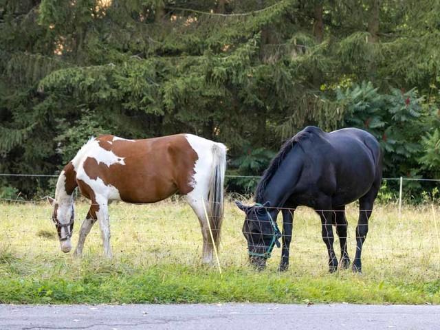 Bunt – ein Paint Horse und ein blaues Pferd
