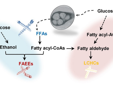 KAIST researchers engineer oleaginous bacterium to produce fatty acids and fuels
