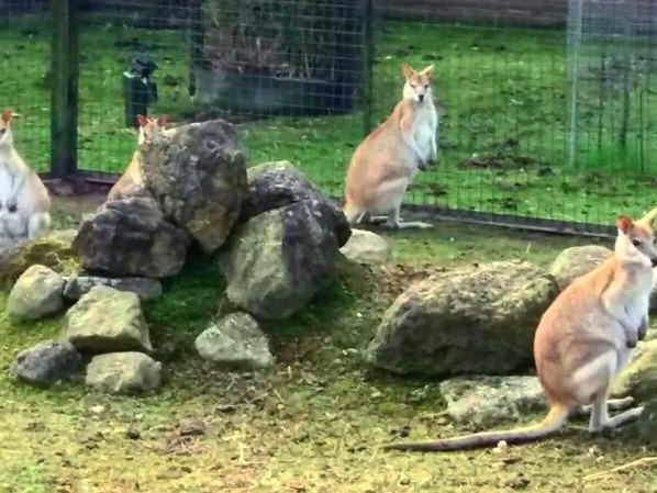 Wallaby op de vlucht in Almelo