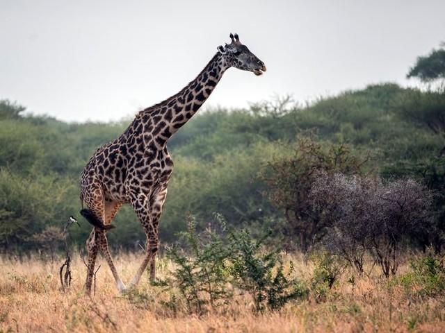 De giraffe wordt nu beschermd tegen 'een stil uitsterven'