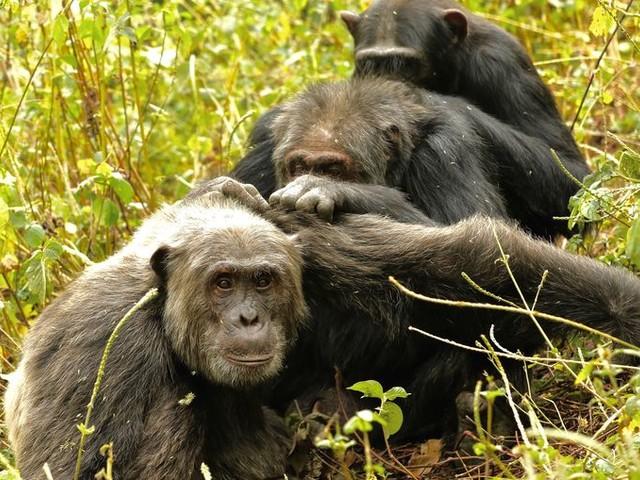 Beetje vlooien, meer wil een oude chimp niet