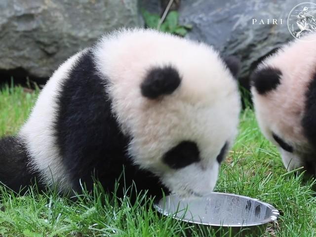 Belgische panda-tweeling voor het eerst buiten