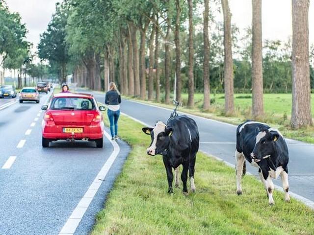 Ontsnapte koeien de weg op