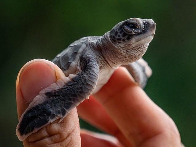 Niet de tijger, maar de schildpad heeft het grootste risico op uitsterven