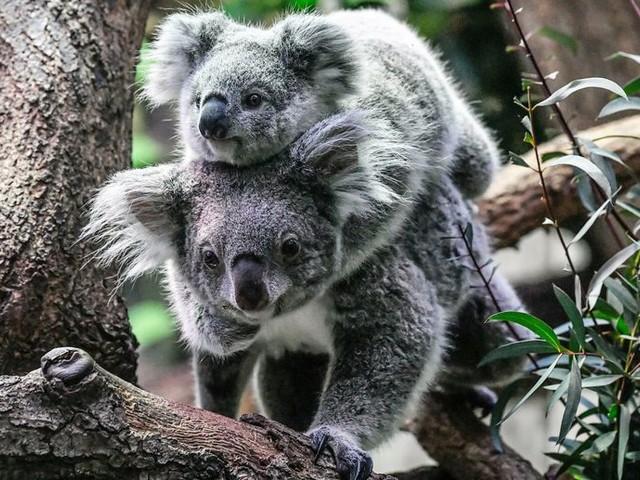 Koala's: sloom, kieskeurig én eigenwijs