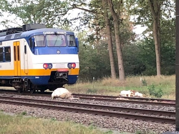 Vier koeien doodgereden op spoor tussen Rijssen en Wierden, trein staat stil