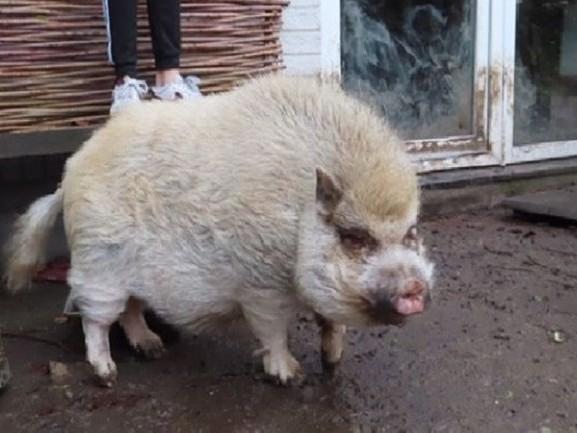 Gezocht: nieuw baasje voor hangbuikzwijn Barry uit Altena