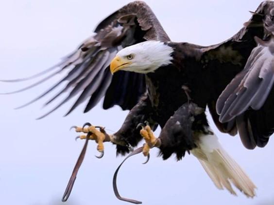 The Eagle Has Landed: ontsnapte Amerikaanse zeearend Lady Maya gevangen in Goirle