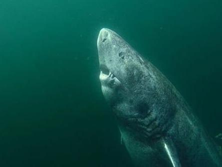 Odkryli najstarsze zwierzę na Ziemi. Może mieć 512 lat i jest rekinem