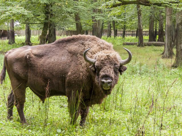 Puszcza Białowieska - bezprawnie wpisana na listę UNESCO?